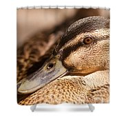 Close Up Shot Of Female Mallard Duck Shower Curtain