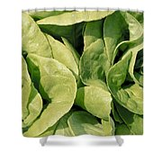 Closeup Of Boston Lettuce Shower Curtain