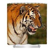 Closeup Portrait Of A Siberian Tiger  Shower Curtain