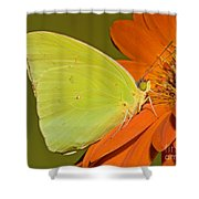 Cloudless Sulphur Butterfly Shower Curtain