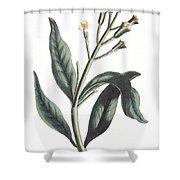 Clove Eugenia Aromatica Shower Curtain