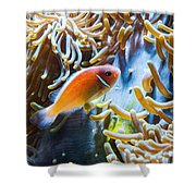 Clown Fish - Anemonefish Swimming Along A Large Anemone Amphiprion Shower Curtain