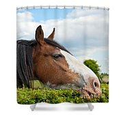 Clydesdale Horse Munching Shower Curtain