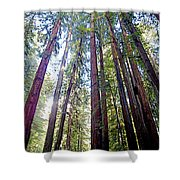 Coastal Redwoods Reach For The Sky In Armstrong Redwoods State Preserve Near Guerneville-ca Shower Curtain