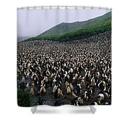 Colony Of Royal Penguin Eudyptes Shower Curtain