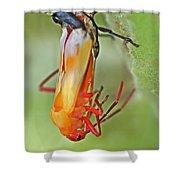 Coming Of Age - Large Milkweed Bug - Oncopeltus Fasciatus Shower Curtain