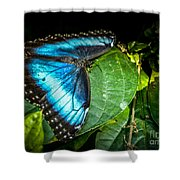 Common Blue Morpho Shower Curtain