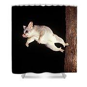 Common Brush-tailed Possum Shower Curtain
