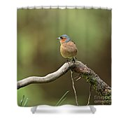 Common Chaffinch Shower Curtain