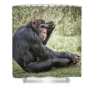 Common Chimpanzee  Pan Troglodytes Shower Curtain