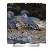 Common Ground-dove Shower Curtain