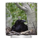 Common Raven Incubating Eggs In Nest Shower Curtain