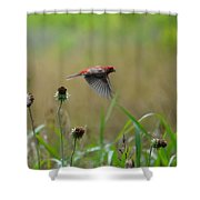 Common Redpoll In Flight Shower Curtain