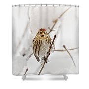 Common Redpoll Shower Curtain