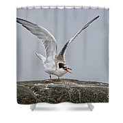 Common Tern Pictures 34 Shower Curtain