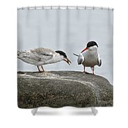 Common Tern Pictures 39 Shower Curtain