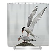 Common Tern Pictures 40 Shower Curtain