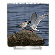 Common Tern Pictures 48 Shower Curtain