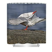 Common Tern Pictures 51 Shower Curtain