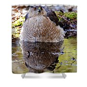 Coopers Hawk Pictures 112 Shower Curtain