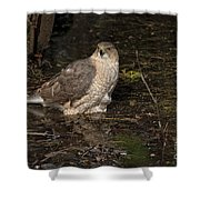 Coopers Hawk Pictures 135 Shower Curtain