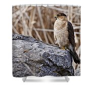 Coopers Hawk Pictures 91 Shower Curtain