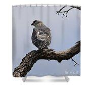 Cooper's Hawk  Shower Curtain