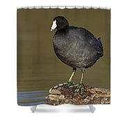 Coot On A Log Shower Curtain
