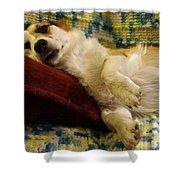 Corgi Asleep On The Pillow Shower Curtain