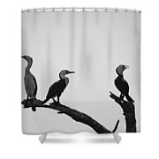 Cormorants-black And White Shower Curtain