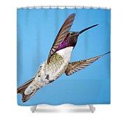 Costa's Hummingbird In Flight Shower Curtain
