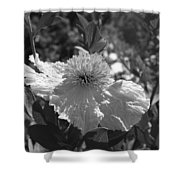 Coulter's Matilija Poppy 2 Shower Curtain
