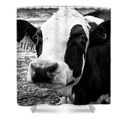 Cow 1119 Shower Curtain