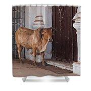 Cow At Church At Colva Shower Curtain