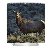 Cow Elk    #7533 Shower Curtain