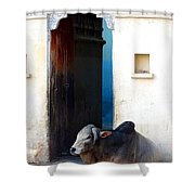 Cow In Temple Udaipur Rajasthan India Shower Curtain