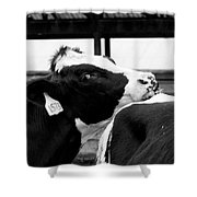 Cow Just Resting His Chin Shower Curtain