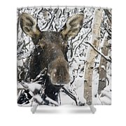 Cow Moose Among Snow Covered Trees In Shower Curtain