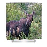 Cow Moose Portrait Shower Curtain