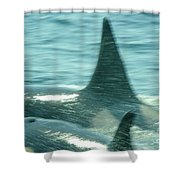 Cow Orca And Her Calf Shower Curtain