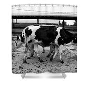 Cows Coming And Going Shower Curtain