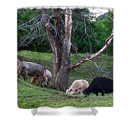 Cows Of Color Shower Curtain