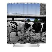 Cows Peek A Boo Shower Curtain