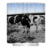 Cows Three In One Shower Curtain