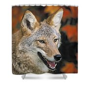 Coyote In Maple Shower Curtain