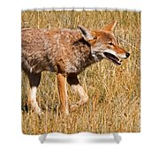 Coyote In Rocky Mountain National Park Shower Curtain