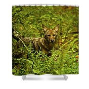 Coyote Of The Woods Shower Curtain