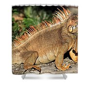 Cozumel Iguana Vacation Shower Curtain