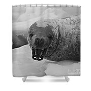 Crabeater Seal.. Shower Curtain
