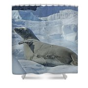 Crabeater Seal On An Iceberg Shower Curtain